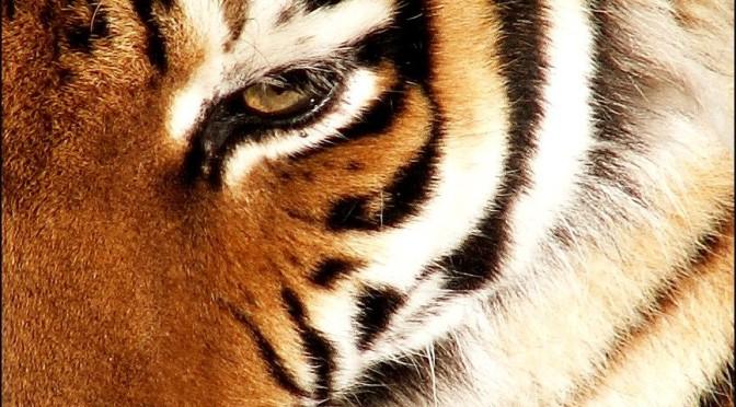 Tygrysi instynkt – Animacja i wiersz